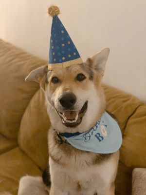 Happy birthday pupper!!! Ares turned one last night.: Happy birthday pupper!!! Ares turned one last night.