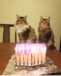 Happy Chanukah from my Kitties to yours: Happy Chanukah from my Kitties to yours