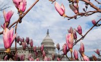 Memes, Winter, and Flowers: Happy first day of spring! The USCapitol dome was framed by the blossoming flowers of a Saucer Magnolia tree as winter came to a close on Monday.
