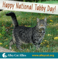 Happy National Tabby Day!  Alley Cat Allies  www.alleycat.org It's National Tabby Day! Let's take some time to appreciate the felines of all stripes who make our lives better. 💗