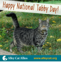 Happy National Tabby Day!  Alley Cat Allies  www.alleycat.org It's National Tabby Day! Let's take some time to appreciate the felines of all stripes who make our lives better. Give the tabbies you know some extra love, or go out and bring home a tabby cat from a shelter.    Fun fact: Tabby isn't a breed. A tabby is any cat with distinctive swirls, stripes, or spots on their coat. Whether mackerel, classic, spotted, or ticked, let's celebrate them all today!