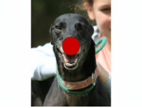 HAPPY RED NOSE DAY, FROM MAY!    MAY Our beautiful black 4 y/o girl, is  a 'special needs' girl. It was found she has severe arthritis, and will need a quiet life, short walks, or maybe her own little yard to play in. She is clean in her kennels and gets along with her fellow kennel mates. She is still a happy girl, always wagging her tail. A perfect companion dog. Come along and see her. For more info call Kama's Cave 01406 330 459 for more info.: HAPPY RED NOSE DAY, FROM MAY!    MAY Our beautiful black 4 y/o girl, is  a 'special needs' girl. It was found she has severe arthritis, and will need a quiet life, short walks, or maybe her own little yard to play in. She is clean in her kennels and gets along with her fellow kennel mates. She is still a happy girl, always wagging her tail. A perfect companion dog. Come along and see her. For more info call Kama's Cave 01406 330 459 for more info.