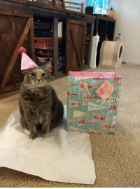 """Energy, Love, and Memes: HAPPY TAIL UPDATE! Today marks one whole year with our fur baby (shelter name Peaches now Meredith) that we adopted from you! We just wanted to give you an update that she is happy, healthy, and so loved. We celebrated her """"gotcha day"""" complete with a party hat, a present, and just a few extra treats. She still loves chasing her toys all around and is just a big ball of energy and love. Thank you again for bringing her into our lives. We are grateful to have her every day."""