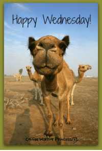 Memes, 🤖, and Camel: Happy Wednesday!  Coffee Warrior  Princess/f Love this camel!  It's really cute!!  Enjoy your day!