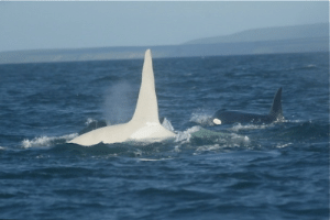 happynoodlegirl83:  kardafricanz:  This is Iceberg, the first white orca whale on earth. Scientists studying a pod of orcas saw his pure white dorsal fin breaking the surface and followed him, thinking that this was a trick of the eye. But Iceberg is the first reported albino killer whale, living in a large pod. Behavioural experts believed that orcas would exile a whale that did not look like the rest of the pod, but since Iceberg was born, his pod has accepted him and he is living a happy and healthy life.  Proving that whales are smarter than people.   White privilege: happynoodlegirl83:  kardafricanz:  This is Iceberg, the first white orca whale on earth. Scientists studying a pod of orcas saw his pure white dorsal fin breaking the surface and followed him, thinking that this was a trick of the eye. But Iceberg is the first reported albino killer whale, living in a large pod. Behavioural experts believed that orcas would exile a whale that did not look like the rest of the pod, but since Iceberg was born, his pod has accepted him and he is living a happy and healthy life.  Proving that whales are smarter than people.   White privilege