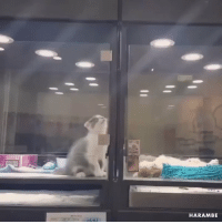 Best Friend, Animal, and Animal Shelter: HARAMBE This kitten lives in an animal shelter, but she's always sneaking out to visit her best friend... cutest thing ever https://t.co/6yILMQdtNh