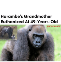 Miami Zoo announced the death of its matriarch gorilla, Josephine. The grandmother of Harambe, the silverback gorilla who was shot and killed after a young child got into his enclosure at the Cincinnati Zoo. - FULL VIDEO & STORY AT PMWHIPHOP.COM LINK IN BIO: Harambe's Grandmother  Euthanized At 49-Years-old  apmwhiphop Miami Zoo announced the death of its matriarch gorilla, Josephine. The grandmother of Harambe, the silverback gorilla who was shot and killed after a young child got into his enclosure at the Cincinnati Zoo. - FULL VIDEO & STORY AT PMWHIPHOP.COM LINK IN BIO