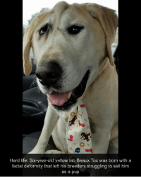 Life, Love, and Memes: Hard life: Six-year-old yellow lab Beaux Tox was born with a  facial deformity that left his breeders struggling to sell hinm  as a pup Beaux Tox is so fancy with all those ties! 🙈 (Swipe ➞ to read about him!) I wish I looked half as good as him wearing ties 😍 👔 I love him Via: @beauxtoxrescues