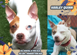 Being Alone, Animals, and Cats: HARLEYOUINN  ID# 60616, 3 YRS OLD,  30 LBS,MANHATTANACC TO BE KILLED 5/11/19  You'll get some good laughs when you hang out with Harley Quinn! @MACC A staff member writes: Harley Quinn came to us as an owner surrender. Harley is shy at first but after she gets comfortable she is friendly and outgoing. She loves being petted, sitting on laps, and getting belly rubs! She'll even show you her appreciation for all of your affection by giving you a wet sloppy kiss! Harley also is exuberant around kids and is potty trained as per her previous pet parent. While she is sure to love all of your attention, she is also well behaved while she is home alone. Harley truly is an awesome, amazing dog who is in need of a second chance. Will you send your love to the rescue today?  A staff member writes: Harley Quinn came to us as a owner surrender . Harley is shy at first but after she gets comfortable she is friendly and outgoing. She loves being petted, sitting on laps, and getting belly rubs! She'll even show you her appreciation for all of your affection by giving you a wet sloppy kiss! Harley also is exuberant around kids and is potty trained as per her previous pet parent. While she is sure to love all of your attention, she is also well behaved while she is home alone . Harley truly is an awesome, amazing dog who is in need of a second chance. Will you send your love to the rescue today?  HARLEY QUINN, ID# 60616, 3 yrs old, 30.8 lbs, Manhattan Animal Care Center, Medium Mixed Breed Cross, White / Brown Female,  Owner Surrender Reason Shelter Assessment Rating: NEW HOPE ONLY  Medical Behavior Rating: Blue  PROFILE NOTES: Spay/Neuter Status  Unknown  Basic Information:  Harley Quinn is a three year old medium mixed breed dog. She was brought to MACC by her owner who has owned her approximately two years. She is being surrendered due to behavior reasons.   Previously lived with:  3 adults, 1 dog.   How is this dog around strangers?  Harley Quinn a