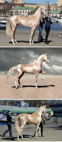 """Beautiful, Confused, and Fucking: harrystylesisthenextdavidbowie: confused-spoon:  sixpenceee:  The Akhal-Teke is a horse breed from Turkmenistan, where they are a national emblem.They have a reputation for speed and endurance, intelligence, and a distinctive metallic sheen. The shiny coat of palominos and buckskins led to their nickname """"Golden Horses"""". These horses are adapted to severe climatic conditions and are thought to be one of the oldest existing horse breeds. (Source)  I've been wanting to know more about this beautiful FUCKING horse! THANKS  what highlighter is it using"""