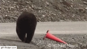 haruhi-sama: ultreit11:   giffindersite:   Helpful grizzly casually fixing a fallen safety cone. Via https://gif-finder.com   K I N G    he is with OSHA  : haruhi-sama: ultreit11:   giffindersite:   Helpful grizzly casually fixing a fallen safety cone. Via https://gif-finder.com   K I N G    he is with OSHA