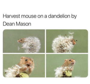 harvest mice deserve all the love in the world: Harvest mouse on a dandelion by  Dean Mason harvest mice deserve all the love in the world