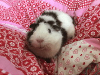 Have a smiling guinea pig to brighten up your day!: Have a smiling guinea pig to brighten up your day!