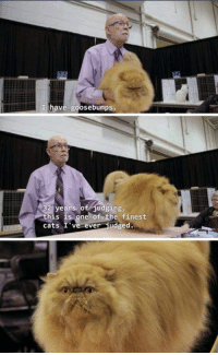 Beautiful, Cats, and Memes: have goosebumps.  his is one of the finest  cats I ve ever udged He's beautiful
