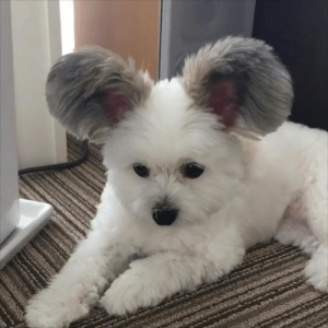 Have you ever seen a dog with mickey mouse ears? 😍: Have you ever seen a dog with mickey mouse ears? 😍