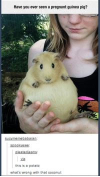 Funny Pregnancy Memes: Have you ever seen a pregnant guinea pig?  meme babaran  Su  SOOO  ewe  leatedieans  Via  this is a potato  what's wrong with that coconut