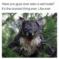 Memes, 🤖, and Koala: Have you guys ever seen a wet koala?  It's the scariest thing ever. Like ever  ingu 😂😂😂lol