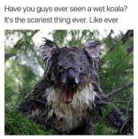 @_theblessedone posts some of the best memes on IG: Have you guys ever seen a wet koala?  It's the scariest thing ever. Like ever  imgur @_theblessedone posts some of the best memes on IG