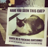 Fucking, Memes, and Lost: HAVE YOU SEEN THIS CAT?  CAUSE HE IS FUCKING AWESOME!  HES NOT LOST ANYTHING.  USI UR ANYTHING, JUST THOUGHT YOU SHOULD SEE HIM.