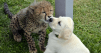 Growing Up, Cartoons, and Cheetah: Having kids is the only way you can feel like kids again watching cartoons playing outdoors in parks and just be an all round idiot for fun and dont fear growing up be yourself always dont change habits that might be childish they make you happy. Heres a therapy puppy and a cheetah they get sad