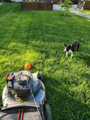He drops his ball in front of the lawn mower so I have to pick it up and throw it.: He drops his ball in front of the lawn mower so I have to pick it up and throw it.