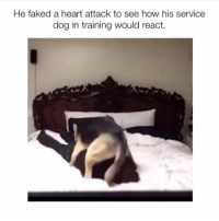 Memes, Heart, and Tag Someone: He faked a heart attack to see how his service  dog in training would react. Tag someone who needs this dog🤦‍♂️😭😂