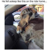 """Bless Up, Bruh, and Memes: He fell asleep like this on the ride home..  @DrSmashlove """"How I sleep knowing I"""" JUST KIDDING BRUH I DON'T SCHLEEP PEACEFULLY LIKE """"Peaceful Doggo 💕"""" OVER HERE BRUH I WAKE UP EVERY HOUR SCARED THAT I OVERSLEPT MY ALARM OR BECAUSE I HAD A NIGHTMARE OR BECAUSE I HAVE A HYPERACTIVE, NERVOUS MIND WHO THE FVCK KNOWS BOTTOM LINE SMASH DON'T REALLY SCHLEEP. UNLESS SMASH JUST SMASHED 😍. THEN SMASH ENJOYS THAT BLISSFUL POST-SMASH HIBERNATION LIKE A MF BEAR IN HIS CAVE BLESS UP 🐻🐻🐻😍😍😍😂😂😂"""