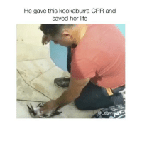 """Damn 😄 Like For Respect❤Tag someone that would do this ! Comment """"awe"""" letter by letter (99% fail): He gave this kookaburra CPR and  saved her life  @Learn Damn 😄 Like For Respect❤Tag someone that would do this ! Comment """"awe"""" letter by letter (99% fail)"""
