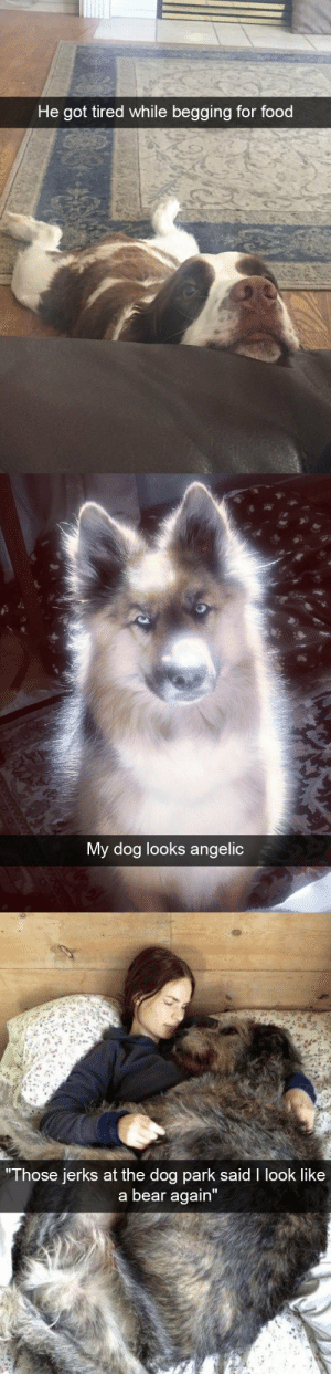 "animalsnaps:Dog snaps: He got tired while begging for food   My dog looks angelic   Those jerks at the do  g park sald I look like  a bear again"" animalsnaps:Dog snaps"