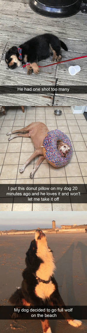 animalsnaps:Dog snaps: He had one shot too many   l put this donut pillow on my dog 20  minutes ago and he loves it and won't  let me take it of   My dog decided to g  o full wolf  on the beach animalsnaps:Dog snaps