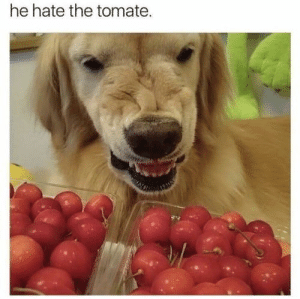 Dog Memes Of The Day 30 Pics – Ep53 #animalmemes #dogmemes #memes #dogs - Lovely Animals World: he hate the tomate. Dog Memes Of The Day 30 Pics – Ep53 #animalmemes #dogmemes #memes #dogs - Lovely Animals World
