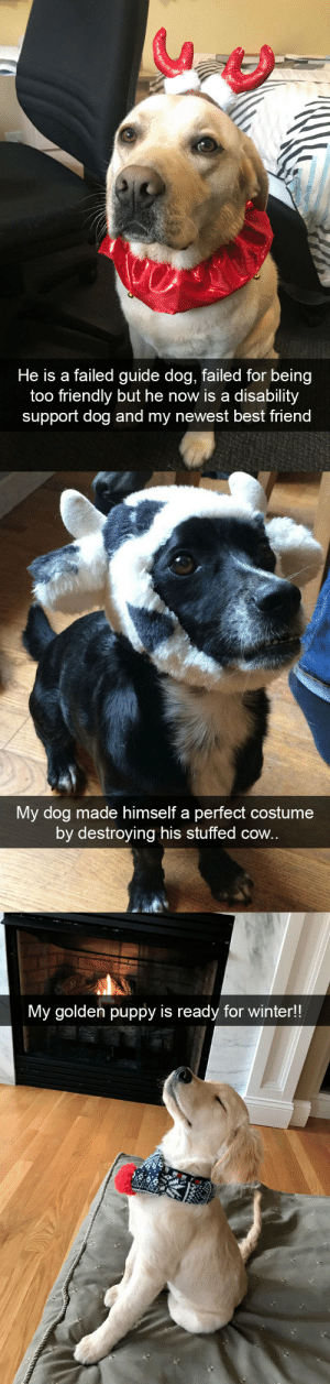 Best Friend, Winter, and Best: He is a failed guide dog, failed for being  too friendly but he now is a disability  support dog and my newest best friend   My dog made himself a perfect costume  by destroying his stuffed cow.   My golden puppy is ready for winter!! more dog snaps