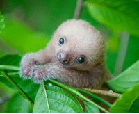 He is Kermie. He is a baby sloth.: He is Kermie. He is a baby sloth.