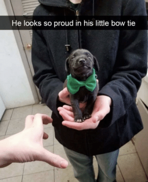 Proud, Bow, and Bow Tie: He looks so proud in his little bow tie Nawhhh cuteee