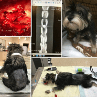 Journey, Memes, and Puppies: /He  MIld DC  Carolina Vet S  NAR, Snuffy  DFOV: 3 BEAUFORT, SC....1 y/o Schnauzer Mix puppy, SHOT in the back and needs Spinal Surgery to Survive.  Please, Help Us, Help Him by DONATING.  http://www.noahs-arks.net/animal/view/snuffy#.WFallneZOqA  BEAUFORT, SC.....Remember what I said in the first e-mail concerning Snow about the Holidays bringing out the Best and the Worst in People?   I am so angry and disheartened to have to post this sweet pup that this time I am posting a $5000. Reward for the person that helps us CONVICT the person that did this.   It was probably a kid, but there is no excuse for injuring an animal like this.   Beaufort County contacted me late in the afternoon with a picture of an adorable one-year-old Schnauzer Mix that was paralyzed.  He was picked up as a stray on Robert Smalls Road in Beaufort, SC.   I agreed to help if they would get on the road immediately and take him to Charlotte where Dr. Bob Bergman could evaluate.   I assumed he had been hit by a car and would be assessed, stabilized and surgery done the next day.  It was 7:00 in the evening and Dr. Bergman had already left for the day after working non-stop doing surgery.  He knew the pup we are calling Snuffy was on his way in and let Neurology know to expect him.   I left for the evening to go to a Dinner Party and did not even take my phone with me since I knew all of the pups were in great hands, including the new one that was on the way to the hospital.   When I arrived home at 10:00, I had several messages from Dr. Bergman explaining he came in to do Emergency Surgery on our new pup.   He made a decision he hoped I was okay with to take Snuffy into Surgery that night.  Surgery was the only chance and was a long one if Snuffy was ever to walk again.   Putting the animal first above everything else is the reason why I LOVE Dr. Bergman and the entire Staff at Caroline Veterinary Specialists in Matthews, NC.   They define what it is to be Surgeons and Vets.    When they started doing scans on Snuffy, they first were going to do an MRI when they noticed something move in the dog.  They immediately stopped the MRI and did a Mylogram to see if there was any metal in Snuffy.   An MRI uses magnets to get images, and you cannot do on an animal that has any metal in the body.   The image that came up on the Mylogram SHOCKED everyone and Dr. Bergman came in immediately to take care of Snuffy.  Someone had SHOT Snuffy Point Blank in the back with a pellet gun, and the pellet was dead center in his Spinal Cord.  The person that did this put the gun directly on the skin of Snuffy and FIRED.  It was as if their intention was to sever the spine completely.  The destruction was so great, that hair was embedded in the spinal cord.    Dr. Bergman was as shocked as all of us.  He could not have placed a pellet in the spinal column that accurate if he had surgically done it.   Snuffy is in ICU where he will remain until we can get him better.  We will order a cart for him since we already know he will need one while he regains his strength.  He does not have control of his rear legs, bowel, or bladder at this time, and we are hopeful he will regain some of it.  Only time and healing can help him now.   To say I am outraged is an understatement.  It is incomprehensible this has happened to an innocent animal.  I am posting a $5000. REWARD for information that leads to the conviction of the person that did this.  I know someone out there knows this dog and who did it.  Anyone that is protecting someone and not coming forward is just as QUILTY as if they pulled the trigger. Any information given is completely CONFIDENTIAL.  Please, call Beaufort County if you know the person responsible.  Their number is 843-255-5010.  Beaufort County, Hilton Head Humane and Noah's Arks Rescue are jointly paying the Reward Fee.   We have already taken on more than any Rescue Group can bounce back from.  We have so many dogs in ICU in hospitals that I haven't even had a chance to give them names.  Please, DONATE.  Take your Holiday Gift List and give the Gift of Life to an animal in need.  You can fill out one of our eCards online to send as your Gift.  These innocent animals need us, and we need you.  Thanks for caring and making their Journey to Heal and find Love, possible.  Have a blessed Holiday Season.   NOTE....We are having issues with some kind Donors not getting their Thank-You Notes and Tax Receipts.  We take this seriously and are working on resolving the problem.  Please, make sure your e-mail address is correct in Paypal and also make sure you have designated an address to reply to with them.  We want you to know how much we appreciate your generosity.  Drop us a note, if you have not heard from us after a donation was made.  We apologize for anyone that was not thanked properly and will rectify the problem.