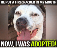 Love, Memes, and Omg: HE PUTA FIRECRACKER IN MY MOUTH  HENDRICKBOARDS.COM  NOW, I WAS ADOPTED CHAMP HAS BEEN ADOPTED! OMG! I have happy tears. To think his abuser put a firecracker in his mouth breaks my heart but knowing this baby is safe and pain free makes all of us cry tears of joy. We love you sweet baby.   You can read his full story and updates here : http://dogco.org/save-champ-ddrrr