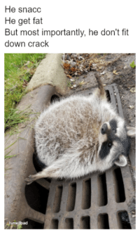 An absolute unit. #TrashPanda #HeSnacc #Raccoon #RoundAnimals #AbsoluteUnit #Cute: He snacc  He get fat  But most importantly, he don't fit  down crack  กา  ad An absolute unit. #TrashPanda #HeSnacc #Raccoon #RoundAnimals #AbsoluteUnit #Cute