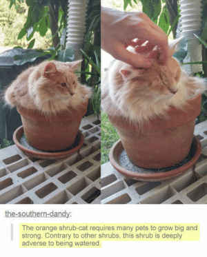 Soon..., Tumblr, and Blog: he-southern-dan  The orange shrub-cat requires many pets to grow big and  strong. Contrary to other shrubs, this shrub is deeply  adverse to being watered srsfunny:It's Going To Blossom Soon
