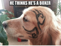 Boxer: HE THINKS HES A BOXER