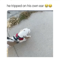 Cute, Girl Memes, and Dog: he tripped on his own ear this dog is so cute