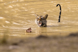 God, Life, and Oh My God: heavierthanaverage: acetyleni:  sillyfudgemonkeys:  natrenwal:  renderiot:  watsoniananatomy:  thebigcatblog:  A 22-month-old female scaredy cat tiger appeared to get the shock of her young life when she encountered a dead leaf floating on a pool of water in the Bandhavgarh National Park, India. Clearly unusure about just what was approaching her, the partially submerged youngster's tail shot up in the air and with teeth bared she let out her most fearsome growl - all in an effort to scare the humble leaf away. Picture: HERMANN BREHM / NPL / Rex Features  I CAN'T BREATHE  OMFG I AM DYING! this is like the happiest thing I have encountered in a while   they should form a support group.   I lost it when I saw the tail, before I even read the comment oh my god  My name is catAnd wen I seeAn unnown thingApproaching mePrepared to fiteI show my teefI growl real loudI scare the leef  @1000pigeons