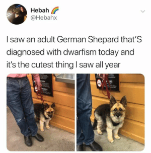 This is cutest dog of all. Change my mind. (credit & consent: @hebahx): Hebah  @Hebah>x  I saw an adult German Shepard that'S  diagnosed with dwarfism today and  it's the cutest thing I saw all year  ING This is cutest dog of all. Change my mind. (credit & consent: @hebahx)