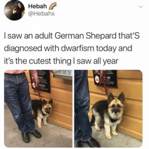 Dog Memes Of The Day 32 Pics – Ep38 #dogs #dogmemes #lovelyanimalsworld - Lovely Animals World: Hebah  @Hebahx  I saw an adult German Shepard that'S  diagnosed with dwarfism today and  it's the cutest thing l saw all year  ING Dog Memes Of The Day 32 Pics – Ep38 #dogs #dogmemes #lovelyanimalsworld - Lovely Animals World