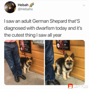This gets me everytime: Hebah  @Hebahx  Isaw an adult German Shepard that'S  diagnosed with dwarfism today and it's  the cutest thing l saw all year  ING  alcohol  SMOKING  Lart Aop This gets me everytime