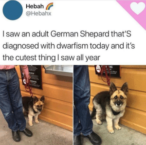 things the make me happy volume 1: Hebah  @Hebahx  Isaw an adult German Shepard that'S  diagnosed with dwarfism today and it's  the cutest thing I saw all year  ING  acohol  SMOKING things the make me happy volume 1