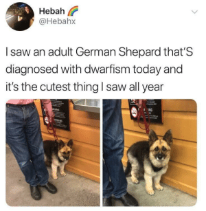 Saw, Today, and German: Hebah  @Hebahx  l saw an adult German Shepard that'S  diagnosed with dwarfism today and  it's the cutest thing I saw all year  ING Dwarf puppers