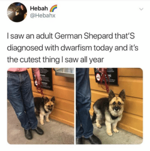 I NEED HIM.: Hebah l?  @Hebahx  I saw an adult German Shepard that'S  diagnosed with dwarfism today and it's  the cutest thing I saw all year  ING I NEED HIM.