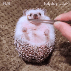 9gag, Dank, and Hungry: hedgehog azuki O  9GAG You're not you when you're hungry. 🍎  By hedgehog_azuki | IG