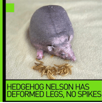 Ugly or cute?: HEDGEHOG NELSON HAS  DEFORMED LEGS, NO SPIKES Ugly or cute?