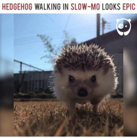 Hedgehog: HEDGEHOG WALKING IN SLOW-MO LOOKS EPIC